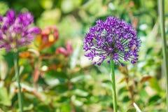Pequeña abeja en la flor preciosa Imagen de archivo libre de regalías