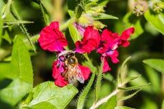 Pequeña abeja en la flor roja Fotografía de archivo libre de regalías
