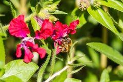 Pequeña abeja en la flor roja Fotos de archivo