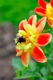 Pequeña abeja en la flor roja y amarilla hermosa Foto de archivo libre de regalías