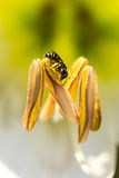 Pequeña abeja en la flor salvaje Fotos de archivo