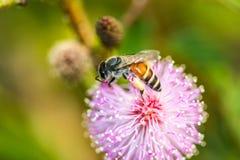 Pequeña abeja en la flor salvaje Imagenes de archivo