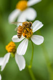 Pequeña abeja en la flor salvaje Foto de archivo