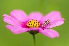 Pequeña abeja en la hoja del cosmos Fotos de archivo libres de regalías