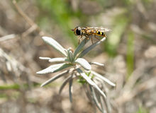 Pequeña abeja en la lavanda Imagenes de archivo