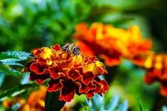 Pequeña abeja en las flores anaranjadas Fotos de archivo
