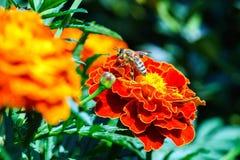 Pequeña abeja en las flores anaranjadas Fotografía de archivo
