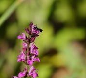 Pequeña abeja en las flores rosadas Foto de archivo