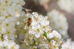 Pequeña abeja en los flores blancos Imágenes de archivo libres de regalías