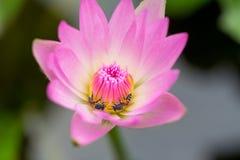 Pequeña abeja en loto rosado Imagenes de archivo