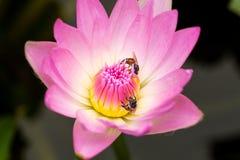 Pequeña abeja en loto rosado Imagen de archivo