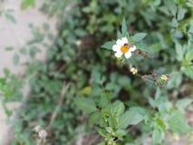 pequeña abeja en pequeña margarita Imagenes de archivo