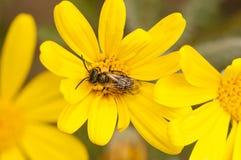 Pequeña abeja en margarita amarilla Fotografía de archivo