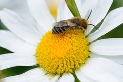Pequeña abeja en un flor de la margarita Fotografía de archivo