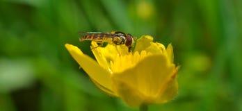 Pequeña abeja en una flor Imagen de archivo libre de regalías
