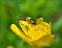 Pequeña abeja en una flor Fotografía de archivo