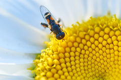 Pequeña abeja en una flor Fotos de archivo libres de regalías