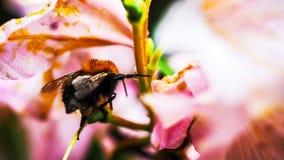 Pequeña abeja en una flor Fotos de archivo