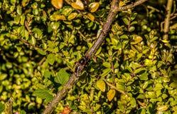 Pequeña abeja en una rama Imagen de archivo