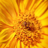 Pequeña abeja hermosa en una flor Fotos de archivo libres de regalías