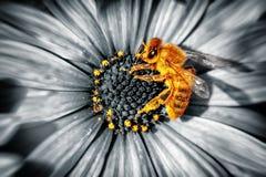 Pequeña abeja linda en una flor de las margaritas Imagenes de archivo