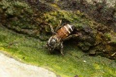 Pequeña abeja macra Imágenes de archivo libres de regalías