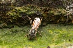 Pequeña abeja macra Fotografía de archivo