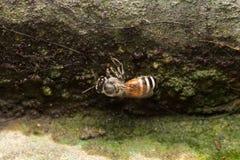 Pequeña abeja macra Fotos de archivo libres de regalías