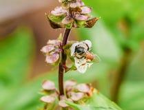 Pequeña abeja macra en la flor del lugar sagrado del Ocimum fotografía de archivo
