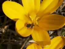 Pequeña abeja (mellifera de los Apis) y flor amarilla Fotos de archivo