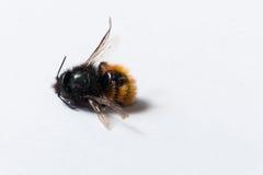 Pequeña abeja muerta en un fondo blanco Fotos de archivo libres de regalías