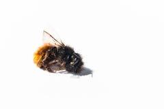 Pequeña abeja muerta en un fondo blanco Foto de archivo libre de regalías