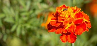 Pequeña pequeña abeja negra que se sienta en una flor roja del tagete en el jardín durante verano Imagenes de archivo