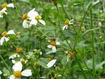 Pequeña abeja que chupa el néctar Foto de archivo