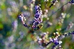 Pequeña abeja que poliniza el brezo rosado Erica Imágenes de archivo libres de regalías