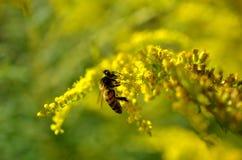 Pequeña abeja que poliniza la mala hierba amarilla Fotografía de archivo libre de regalías