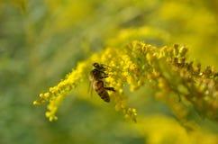 Pequeña abeja que poliniza la mala hierba amarilla Fotos de archivo libres de regalías