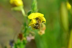 Pequeña abeja que poliniza la mala hierba amarilla Fotos de archivo