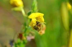 Pequeña abeja que poliniza la mala hierba amarilla Fotografía de archivo