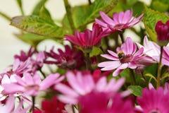 Pequeña abeja que poliniza margaritas africanas rosadas Foto de archivo