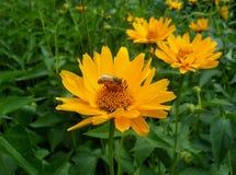 Pequeña abeja que recoge el néctar en una flor amarilla viva floreciente Imagenes de archivo