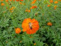 Pequeña abeja que recoge el néctar en una flor floreciente del color anaranjado vibrante Imagenes de archivo