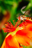 Pequeña abeja que recoge el polen de una flor roja en jardín Foto de archivo libre de regalías