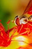 Pequeña abeja que recoge el polen de una flor roja en jardín Foto de archivo