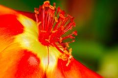 Pequeña abeja que recoge el polen de una flor roja en jardín Imágenes de archivo libres de regalías