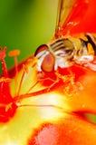 Pequeña abeja que recoge el polen de una flor roja en jardín Imagen de archivo