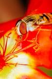 Pequeña abeja que recoge el polen de una flor roja en jardín Fotos de archivo