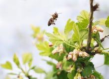 Pequeña abeja que vuela sobre ramas florecientes de árboles y que recoge el néctar en primavera temprana Foto de archivo
