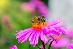 Pequeña abeja trabajadora en el aster Foto de archivo libre de regalías