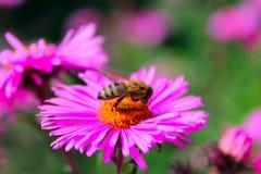 Pequeña abeja trabajadora en el aster Imágenes de archivo libres de regalías